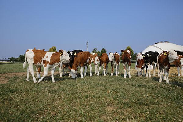 Les vaches aux pâturages