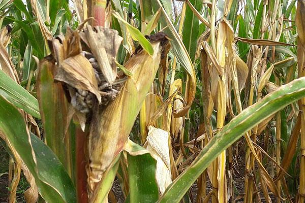Maïs ensilage avec des dégâts liés à la sécheresse – Que faire ?
