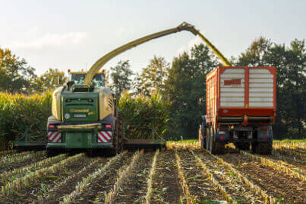 L'ensilage de maïs – à quoi faut-il faire attention ?