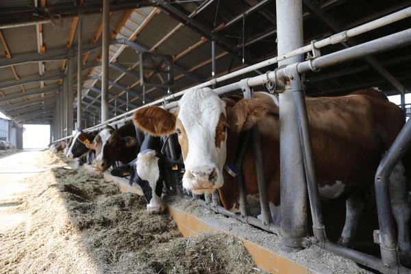 JOSERA Rinder im Fressständer stehend