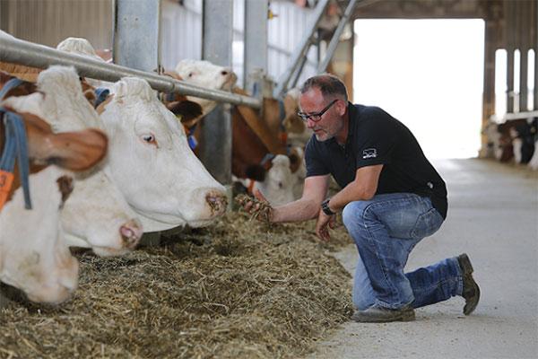 JOSERA Rinder im Fressständer und Landwirt am Futtertisch